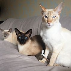 You can't sit with us… Siamese #meezer Cats ❤️