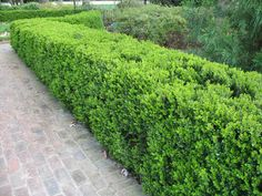 European box / Boxwood / Buxus sempervirens / Самшит вічнозелений / Букшпан