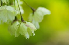 緑の桜 ウコン   と   今日の夕空 : ふつうのコト