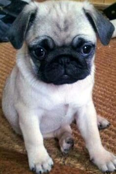 another pugglette... lol