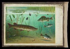 Fish | Schoolplaat Koekkoek