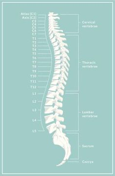 What is Degenerative Spondylolisthesis?: Anatomy of the vertebral column. The lumbar spine is labeled L1-L5.