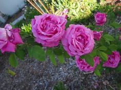 Image result for baronne prevost rose
