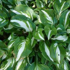 Hosta undulata 'Mediovariegata' (Hartlelie) - p9