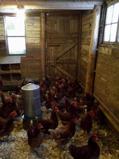 Hens in the barn on a cold day