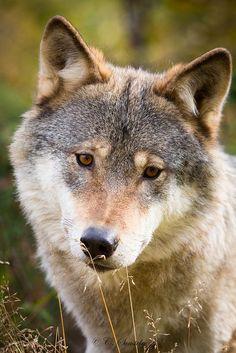 Scandinavian Grey Wolf II by nemi1968 on Flickr