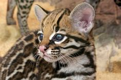 The elusive and solitary ocelot, a small wild cat with markings similar to a leopard or jaguar, once ranged from south Texas to Arkansas and Louisiana. But today, due to widespread habitat loss, only 50 ocelots exist in the entire United States,...