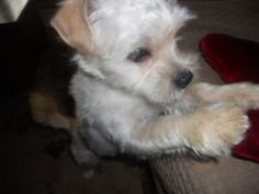 Kindle is an adoptable West Highland White Terrier Westie Dog in Kaukauna, WI. Kindle is cute and he knows it! Little Kindle is a westie personality in sort of a smaller shih tzu package. Estimated to...