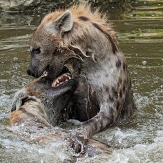 webcam - The World`s Most Visited Video Chat Sneaky Animals, Hyena, Brown Bear, Wildlife Photography, Polar Bear, Mammals, Creatures, Puppies, Bergen
