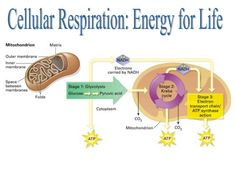 Cellular Respiration is the process in which the solar energy stored in organic molecules like glucose is released. Aerobic respiration requires and consumes oxygen. Anaerobic respiration does not require or consume oxygen, Cell Respiration, Photosynthesis And Cellular Respiration, Nursing School Requirements, Nursing School Tips, Registered Nurse School, Lpn To Rn Programs, Online Certificate Programs, Chemistry, Biology