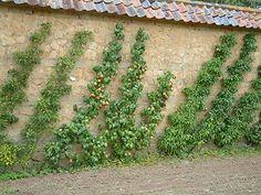 Oblique Cordon trained Pears .JPG (450×338)