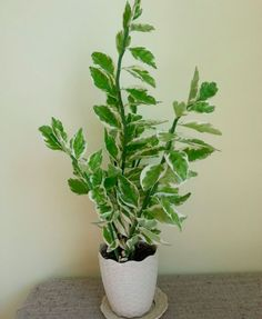 Такое растение, как педилантус (Pedilanthus) относится к довольно обширному семейству молочайных (Euphorbiaceae). Оно представляет собой сильноветвящийся кустарник. В природе такое растение можно повс...