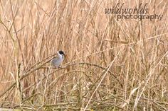 wildlife photography - bird in the reeds 2