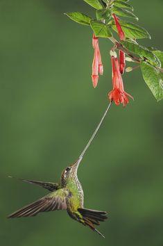 Ensifera ensifera/Sword-billed Hummingbird/ヤリハシハチドリ