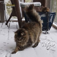 Maine Coons playing in Georgia snow