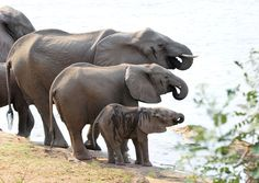 """""""All together now!"""" by James Briggs via 500px -- """"Lower Zambezi National Park in Zambia, early morning (7.24am) drinking from the Zambezi."""""""