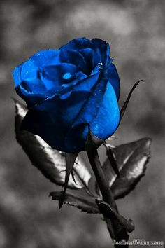 blue and black rose