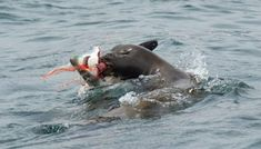Sea Lions are ruthless ~ A Baby Shark and A Sea Lion