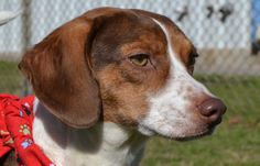 02/16/14 Gibson Beagle & Dachshund Mix • Adult • Male • Small City of…