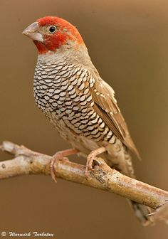 The Red-headed Finch (Amadina erythrocephala) (also known as the Paradise Finch or the Red-headed Weaver) is a common species of estrildid finch found in Africa. It has an estimated global extent of occurrence of 1,600,000 km². It is found in Angola, Botswana, Lesotho, Namibia, South Africa and Zimbabwe.