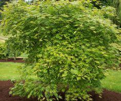 Acer palmatum 'Omure Yama' - Omure Yama Japanese Maple
