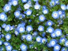 Baby blue eyes ネモフィラ  花名のネモフィラは、ギリシア語で「小さな森を愛する」を意味し、原種が茂みの中の明るい日だまりに自生することに由来します。  ネモフィラの花言葉は、  「どこでも成功」「可憐」「あなたを許す」    ※西洋での花言葉・英語 Language of flowers  「success everywhere(どこでも成功)」