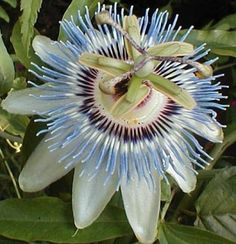 Of all the flowering vines, Passion Flower bear some of the showiest blooms on earth. An easily grown plant, these look absolutely stunning in the garden or inside as a year-round houseplant. The blooms of Blue Passion Flower are multi-colored, with a mint scent much like the fruit of the pineapple guava. This variety is extremely fast growing, and may grow up to 30' a season. It is also one of the hardiest passion flowers, dying back in colder climates but hardy to 10F. It will regrow from…