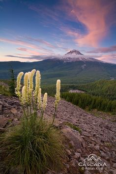 Wind Dancers - Mt Hood Wilderness, Oregon