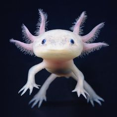 growing larger than a foot centimeters) in length, the Axolotl is one. Rarely growing larger than a foot centimeters) in length, the Axolotl is one.Rarely growing larger than a foot centimeters) in length, the Axolotl is one. Rare Animals, Animals And Pets, Funny Animals, Animals Sea, Unusual Animals, Bizarre Animals, Smiling Animals, Cute Wild Animals, Adorable Animals