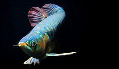 by Norman Celis - Colorful Fish, Tropical Fish, Fish Under The Sea, Oscar Fish, Norman, Dragon Fish, Different Fish, Freshwater Aquarium Fish, Aquarium Design