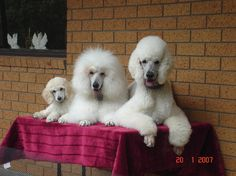 poodles with different cuts