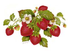 Discover recipes, home ideas, style inspiration and other ideas to try. Strawberry Drawing, Strawberry Tattoo, Strawberry Flower, Strawberry Delight, Strawberry Plants, Fruit Illustration, Botanical Illustration, Strawberry Pictures, Strawberry Background
