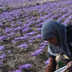 Iran. Khorasan.  Workers are collecting saffron from the saffron farm.
