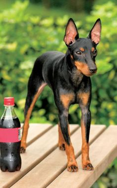 Manchester Terrier / Gentleman's Terrier / English Toy Terrier