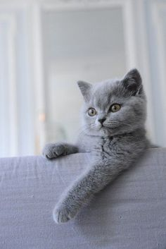 Mon British Shorthair                                                                                                                                                                                 Plus