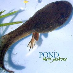 Bullfrog Tadpoles... of course I have to have some frogs in my pond to feed the bass and keep the bugs down.