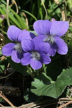 Woodland Violets by Deborah Hajek
