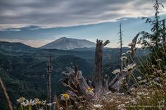 A Daisies View Of Mt St Helens by Dave Beal on Capture Southwest Washington // Wild daisies and weathered old tree root at Windy Ridge.  This is not an HDR photo for those who might think it is. No HDR processing was done on this whatsoever. Processed RAW file in Lightroom and Nik Collection.
