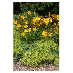 Hemerocallis Golden Chimes underplanted with Alchemilla mollis