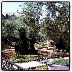 Garden Of Gethsemane / גת שמנים / الجسمانية in East Jerusalem, West Bank