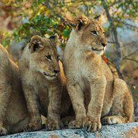 more lion cubs