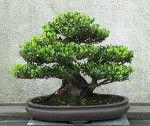 Bonsai: the art of growing miniature trees