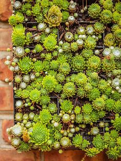 INFORMATION: Article and links to identifying, choosing, caring for succulents. plus diy living garden links. Guide to Succulents