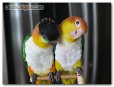 Caique Parrots ! Adorable, fun and playful