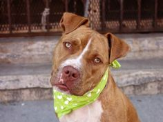 TO BE DESTROYED - FRIDAY - 8/15/14 Brooklyn Center -P  My name is PRINCE. My Animal ID # is A1009445. I am a neutered male tan and white american staff mix. The shelter thinks I am about 1 YEAR   I came in the shelter as a OWNER SUR on 08/05/2014 from NY 11378, owner surrender reason stated was MOVE2PRIVA.