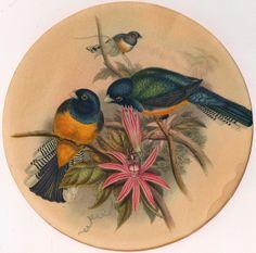 yellow-blue birds