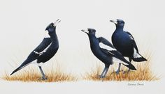 The Choralist Katherine Castle Australian magpies