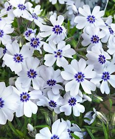 Perennial plants, also known as herbaceous plants, live for 2 or more years & flower every year. Buy perennial & biennial plants from our UK online range now. Hardy Perennials, Flowers Perennials, Planting Flowers, White Perennial Flowers, Full Sun Perennials, Garden Shrubs, Garden Plants, White Flowers, Front Yards