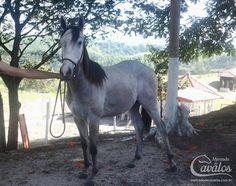 Firstin Apollo, Quarto de Milha, Macho - Mercado de Cavalos