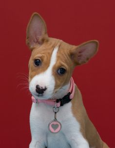 Basenji Puppy... and she's hypoallergenic!!! how perfect!